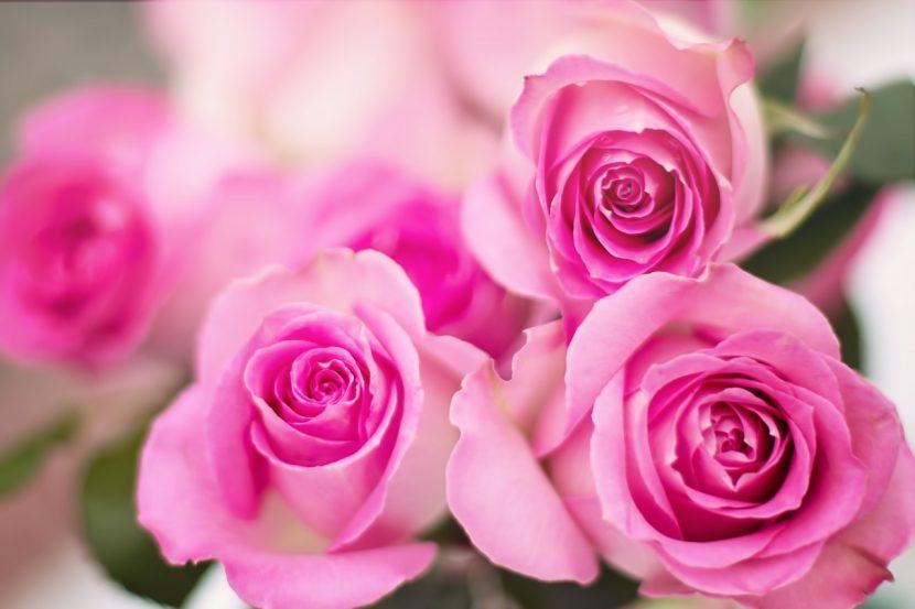 flores-de-rosales-rosa-830x553